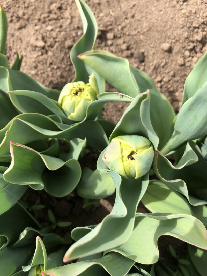 tulipány plnokvěté