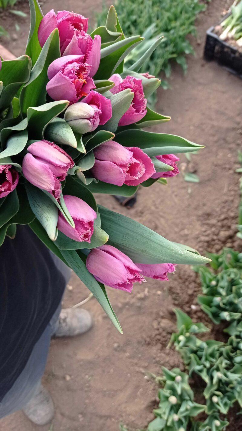 tulipány louvre